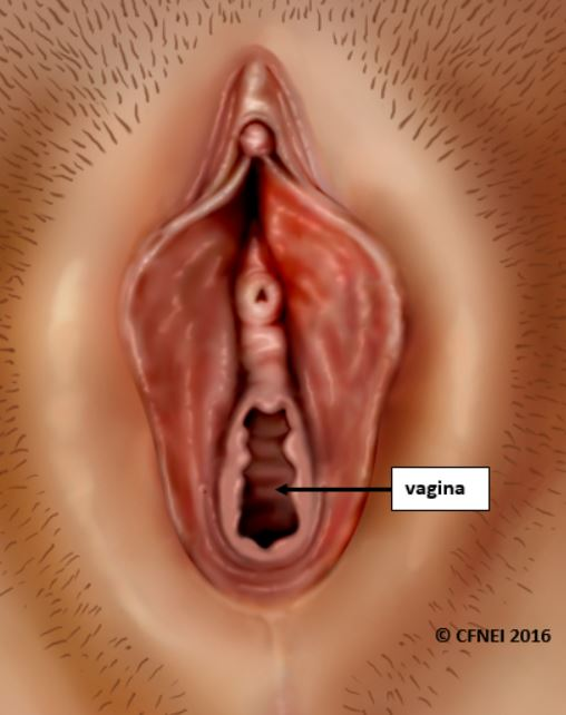The Vagina & Vulva Female Anatomy: Pictures, Parts